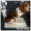 Scarlett *