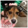 Hazel *