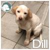 Dill *