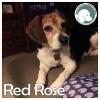 Red Rose *