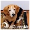 Pumpkin *