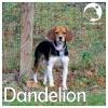 Dandelion *