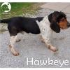 Hawkeye *