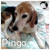 Pingo *