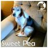Sweet Pea *